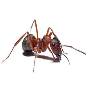 Ant control services in sharjah by aimpests