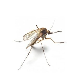 Mosquito control services in sharjah by aimpests