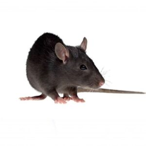 rats control services in sharjah